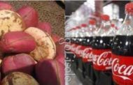 The Kola nut or Cola is the fruit of various trees of the genus COLA
