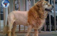 Qui est Dolion ? Dolion est un hybride issu d'un croisement génétique entre un lion et un chien