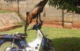 Cette chèvre est plus intelligente que certains humains ... Vrai ou Faux ?
