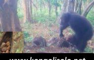 Arbres sacrés et autels: les chimpanzés ont-ils une religion ? ... (VIDÉO)