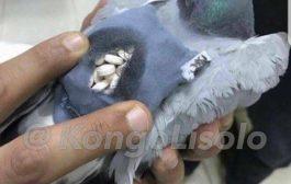 Koweït : près de la frontière irako-koweïtienne, la police a arrêté un pigeon qui transportait des comprimés d'ecstasy dans un petit sac à dos accroché à son plumage ... (VIDÉO)