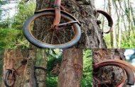 Une image historique : un vélo avalé par un arbre à « Vashon Island », c'est l'œuvre de la nature elle-même