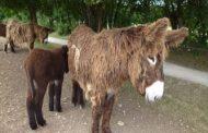 Connaissance Zoologique : comment appelez-vous les ânes dans votre langue maternelle ? ... (VIDÉO)