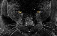 Connaissance Zoologique : comment appelez-vous la panthère noire dans votre langue maternelle ? ... « La panthère » elle est une chasseuse nocturne, la chasse se déroule généralement à l'aube ou au crépuscule ... Elle a deux techniques de chasse : le belvédère et l'approche masquée
