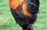 La brahma est une race de grosse poule domestique créée aux États-Unis à partir de la cochin auquel du sang de combattant malais a été ajouté, donnant cette « tête de rapace » caractéristique. Elle fut importée en Europe occidentale vers 1850  ... (VIDÉO)