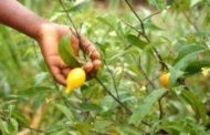L'iboga, une racine aux pouvoirs hallucinants : cette plante, classée comme stupéfiant, est interdite en France et aux Etats-Unis. Ailleurs, des recherches et des centres de soins ont été autorisés