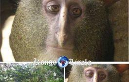 Une nouvelle espèce de singe : un singe aux yeux humains (Lesula Mundele-Makaku), découvert dans le bassin de Lomami de la République démocratique du Congo