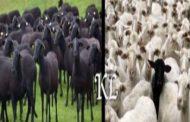 Le prophète Mohamed dans ses œuvres : il est rapporté que le Prophète Mohamed (Saws) a dit « (dans un rêve), j'ai vu la suite d'un troupeau de moutons noirs »