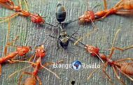 """हम प्रभावों से नहीं निपटते हैं, बल्कि इसके कारण हैं: एक ही बर्तन में काले और लाल चींटियों का रूपक इस कुएं को दिखाता है """"सभी शांति और शांत लकड़ी में 100 काली चींटियों और एक ही बर्तन में 100 लाल चींटियों को रखने का तथ्य ग्लास एक समस्या नहीं होगी, कुछ भी गंभीर नहीं होगा; चींटियों की दो प्रजातियाँ बिना किसी समस्या के साथ रहेंगी """""""