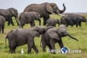 Les significations totémiques de l'éléphant : l'éléphant est un animal totem qui représente la douceur et la sagesse, mais il est aussi un exemple de grandeur, de force et de puissance; ses significations sont multiples aussi bien en rêve qu'en animal spirituel