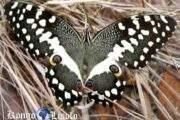 Le papillon, animal totem : quand on voit le papillon s'envoler, butiner et atterrir de fleur en fleur, on dit que cet insecte, lépidoptère de nuit aux 4 ailes couvertes d'écailles, voltige,comme pour dire « Ça » il va d'un objet à un autre sans objectif fixe; loin de là, le papillon est un symbole de métamorphose ou de transformation profonde vers les hauteurs
