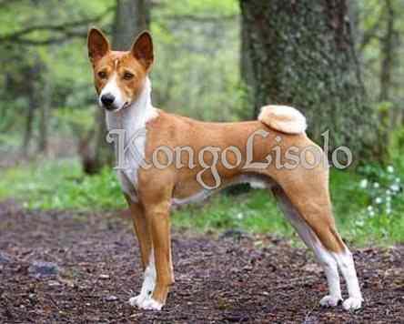 Le saviez-vous ? L'homme congolais et le chien Basenji partagent 40 mille ans d'histoire; on estime que les Congolais ont pu domestiquer Basenji il y a plus de 4 millénaires; ce n'est pas pour rien que cette espèce de chien indigène (appelée « Basenji ») est la plus répandue au Congo et en Afrique subsaharienne